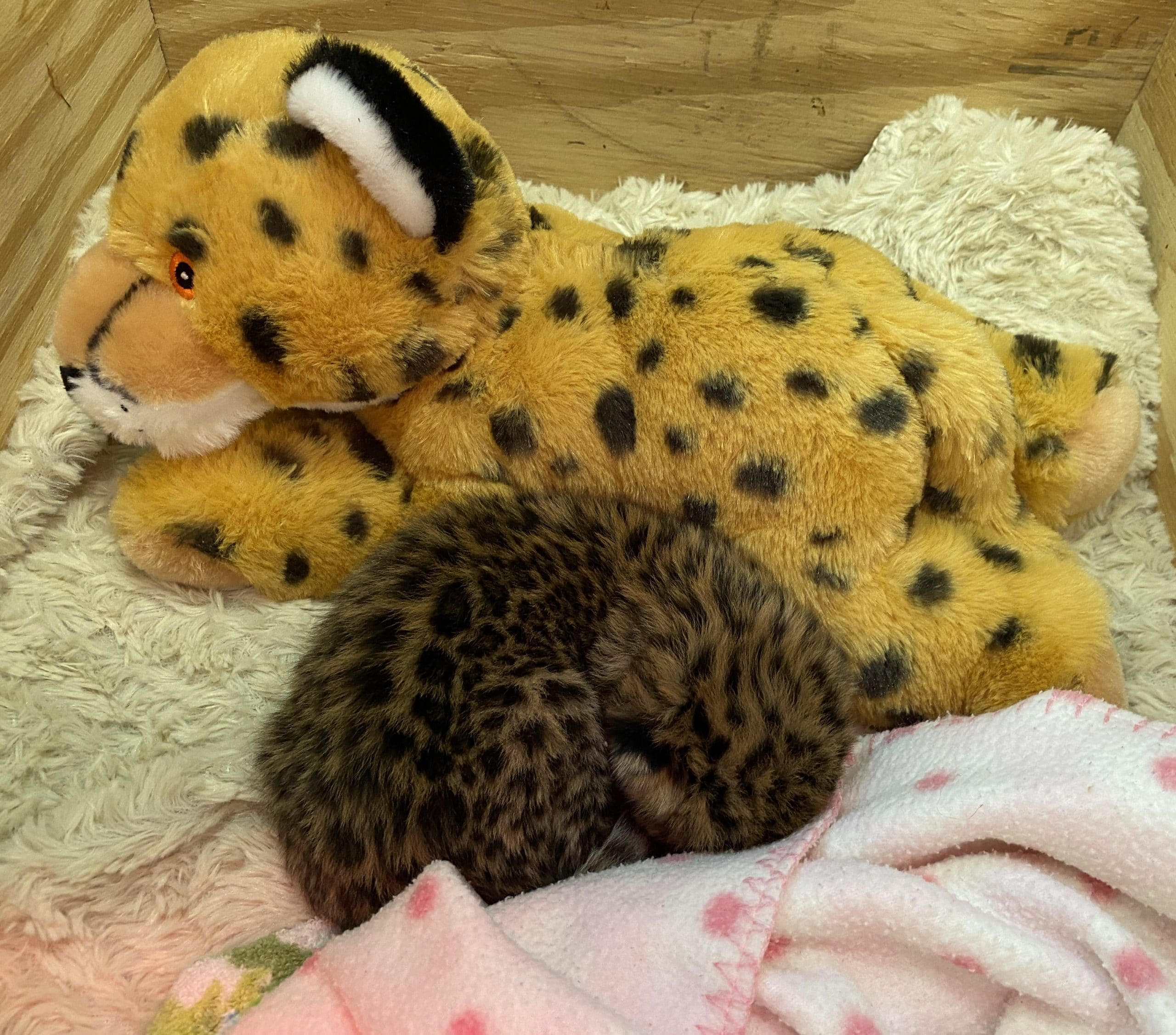 Happiness Is A Baby Amur Leopard at Essex County's Turtle Back Zoo